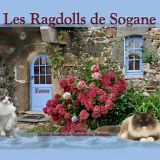 Photo de Ragdoll de l'élevage Chatterie Ragdolls de Sogane