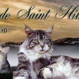 Photo de Maine Coon de l'élevage Chatterie Saint Hilarion