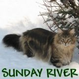 Photo de Maine Coon de l'élevage Chatterie Sunday River