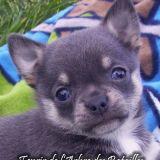 Photo de chiens de l'élevage Chihuahua de l'arbre des batailles