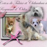 Photo de chiens de l'élevage Chihuahua et Coton de Tuléar du Royaume d'Odin