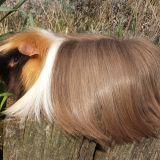 Photo de Cochon d'Inde de l'élevage Chons de flandres