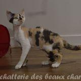 Photo de Devon Rex de l'élevage Chatterie des beaux charmeurs