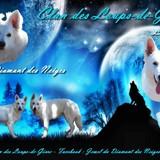 Photo de Berger blanc suisse de l'élevage Du Clan des Loups de Givre