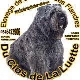 Photo de Bouvier des Flandres de l'élevage Clos de la Luette