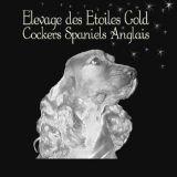 Photo de Cocker anglais de l'élevage COCKER ANGLAIS DES ETOILES GOLD
