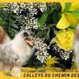 Photo de Colley à poil long de l'élevage Colleys du Chemin des Randonnées