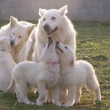 Photo de Berger blanc suisse de l'élevage DE LA PLAINE DALBA