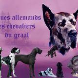 Photo de Dogue allemand de l'élevage Des Chevaliers Du Graal