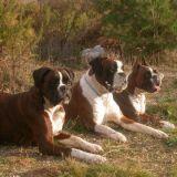 Photo de Boxer de l'élevage DE CLAUS PARASSAC