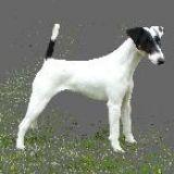 Photo de Fox-Terrier de l'élevage De Grandrieux