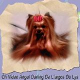 Photo de Yorkshire Terrier de l'élevage DE L'ARGOS DU LYS