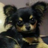 Photo de Chihuahua de l'élevage De L'oasis des cotonniers