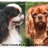 Photo de King Charles Spaniel de l'élevage DE LA MONTAGNE ENSOLEILLEE