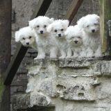 Photo de chiens de l'élevage De la Vallee aux petits chiens