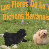Photo de Bichon havanais de l'élevage De Las Flores De La Vida