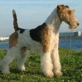 Photo de Fox-Terrier de l'élevage DE VALLAURIS DES ASTUCIEUX
