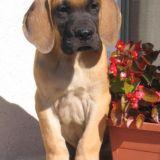 Photo de chiens de l'élevage Des Armoiries Aux Têtes d'Or
