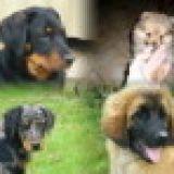 Photo de chiens de l'élevage DES BERGERS DE CORAIL
