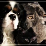 Photo de chiens de l'élevage Des Cavaliers de Strass