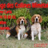Photo de Beagle de l'élevage Des Collines Mimétaines
