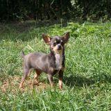 Photo de Chihuahua de l'élevage Des Disciples de Yoda