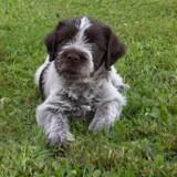 Photo de Griffon à poil dur Korthals de l'élevage Elevage Canin des Etangs d'ASSAT