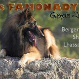 Photo de Berger belge de l'élevage DES FAMONADYNS