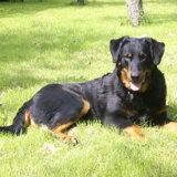 Photo de chiens de l'élevage BERGERS DE BEAUCE et STAFFORDSHIRE BULL TERRIERS DES MILLE PAS DE LOUP