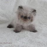Photo de chats de l'élevage Des Jardins Persans