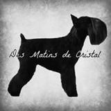 Photo de Schnauzer de l'élevage DES MATINS DE CRISTAL