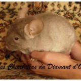 Photo de Chinchilla de l'élevage Diamant