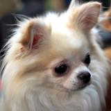 Photo de Chihuahua de l'élevage DE LA DIVINE SYMPHONIE