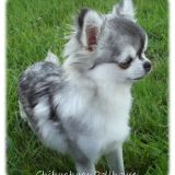 Photo de Chihuahua de l'élevage Dollhouse