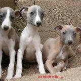 Photo de chiens de l'élevage Domaine Belle Rose