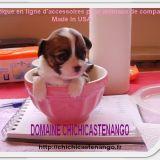 Photo de Chihuahua de l'élevage DOMAINE DE CHICHICASTENANGO