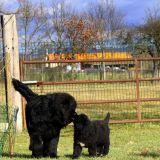 Photo de Terre-Neuve de l'élevage Domaine de la Badouillère