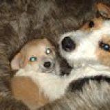 Photo de Chihuahua de l'élevage Domaine de saint clair