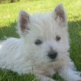 Photo de West Highland White Terrier de l'élevage DOMAINE DE SOUVIGNY