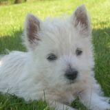 Photo de West Highland White Terrier de l'élevage DOMAINE DE SOUVIGNY