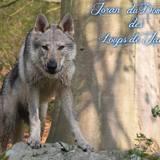 Photo de Chien-loup tchèque de l'élevage Domaine des Loups de JAD