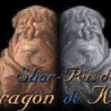 Photo de Shar Pei de l'élevage Dragon de Koshi Shar-Pei