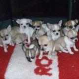 Photo de Chihuahua de l'élevage Du clocher d'enfer