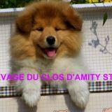 Photo de Colley à poil long de l'élevage DU CLOS D'AMITY STAR
