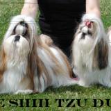 Photo de Shih Tzu de l'élevage Du Konowane