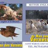Photo de Setter anglais de l'élevage Du mas des vernets