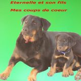 Photo de Beauceron de l'élevage Du royaume d'Elsa
