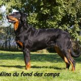 Photo de Beauceron de l'élevage DU SEIZE THERMIDOR