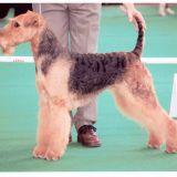 Photo de Airedale Terrier de l'élevage DU VAL D'UZELLE