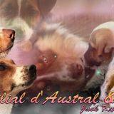 Photo de chiens de l'élevage Elevage d'Austral et Boréal